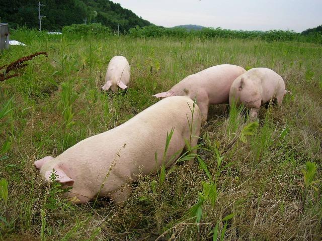 一貴山豚とは 一貴山豚ギャラリー2