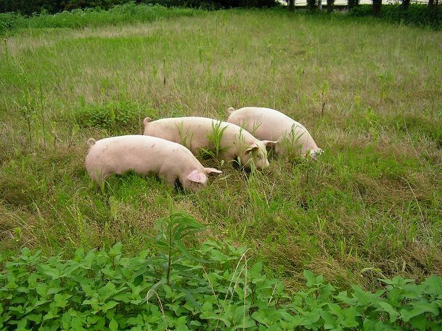 一貴山豚とは 一貴山豚ギャラリー3